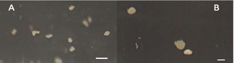 Aggregation of marine picophytoplankton
